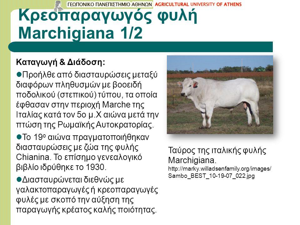 Κρεοπαραγωγός φυλή Μarchigiana 1/2 Καταγωγή & Διάδοση: Προήλθε από διασταυρώσεις μεταξύ διαφόρων πληθυσμών με βοοειδή ποδολικού (στεπικού) τύπου, τα οποία έφθασαν στην περιοχή Marche της Ιταλίας κατά τον 5ο μ.Χ αιώνα μετά την πτώση της Ρωμαϊκής Αυτοκρατορίας.