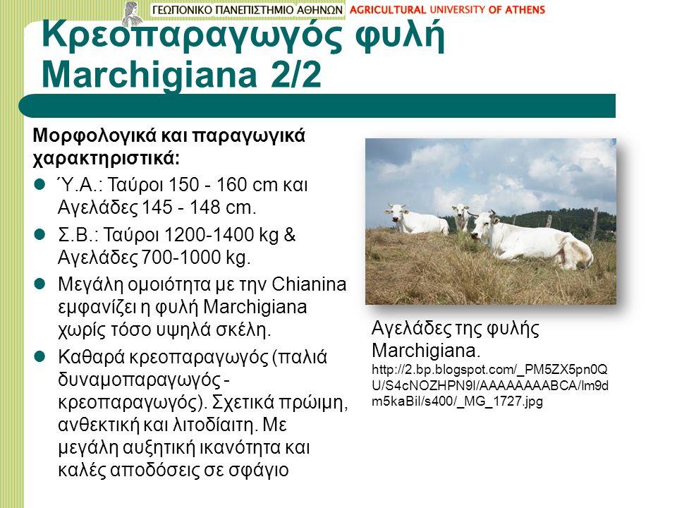 Κρεοπαραγωγός φυλή Μarchigiana 2/2 Μορφολογικά και παραγωγικά χαρακτηριστικά: Ύ.Α.: Ταύροι 150 - 160 cm και Αγελάδες 145 - 148 cm.