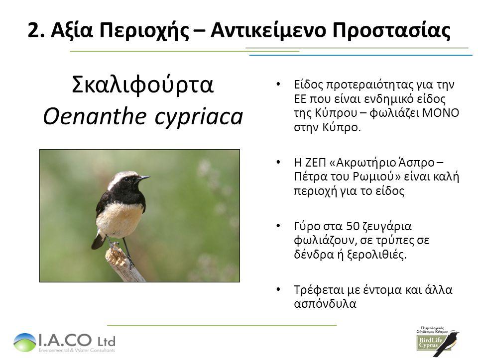Σκαλιφούρτα Oenanthe cypriaca Είδος προτεραιότητας για την ΕΕ που είναι ενδημικό είδος της Κύπρου – φωλιάζει ΜΟΝΟ στην Κύπρο. Η ΖΕΠ «Ακρωτήριο Άσπρο –