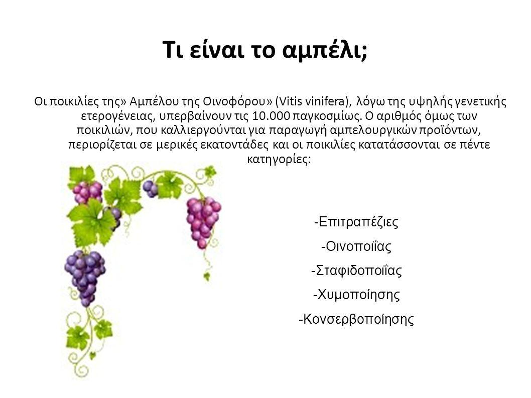 Tι είναι το αμπέλι; Οι ποικιλίες της» Αμπέλου της Οινοφόρου» (Vitis vinifera), λόγω της υψηλής γενετικής ετερογένειας, υπερβαίνουν τις 10.000 παγκοσμίως.