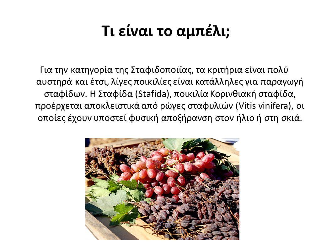 Τι είναι το αμπέλι; Για την κατηγορία της Σταφιδοποιΐας, τα κριτήρια είναι πολύ αυστηρά και έτσι, λίγες ποικιλίες είναι κατάλληλες για παραγωγή σταφίδων.