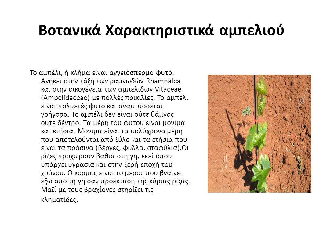 Βοτανικά Χαρακτηριστικά αμπελιού Το αμπέλι, ή κλήμα είναι αγγειόσπερμο φυτό.