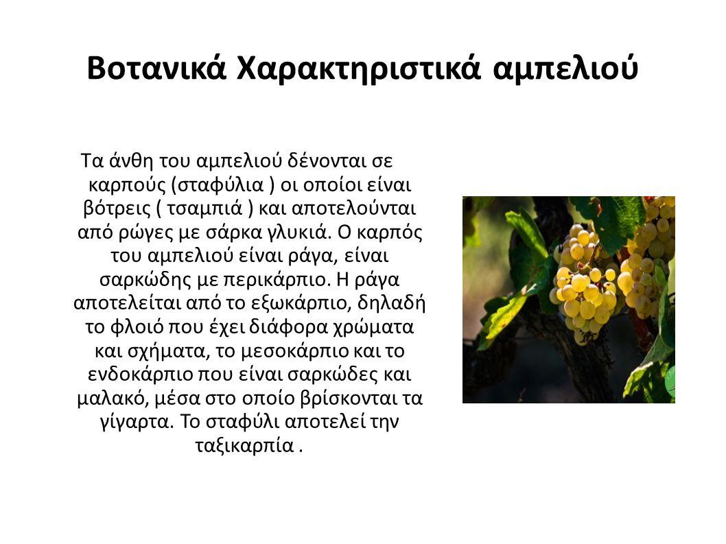Βοτανικά Χαρακτηριστικά αμπελιού Τα άνθη του αμπελιού δένονται σε καρπούς (σταφύλια ) οι οποίοι είναι βότρεις ( τσαμπιά ) και αποτελούνται από ρώγες με σάρκα γλυκιά.