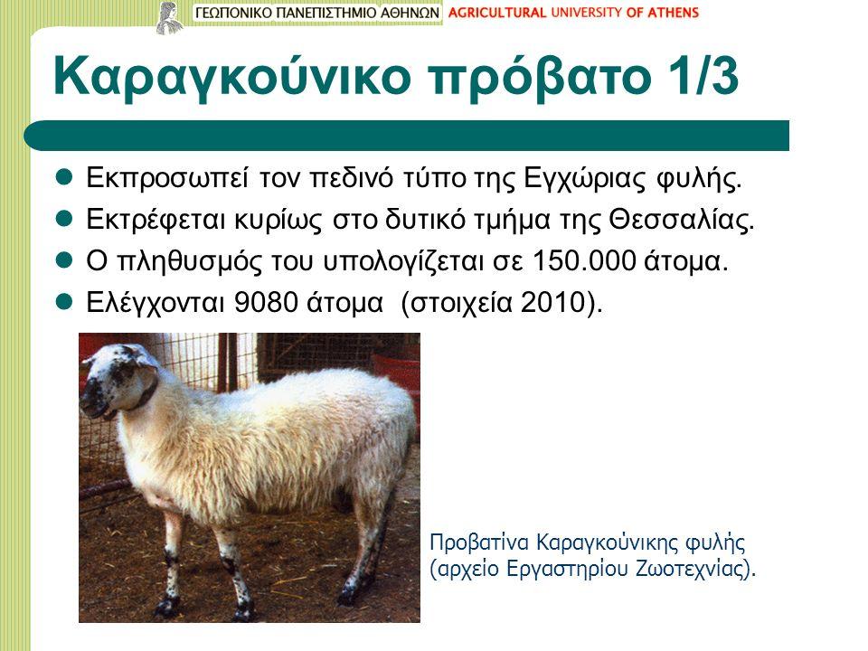 Καραγκούνικο πρόβατο 1/3 Εκπροσωπεί τον πεδινό τύπο της Εγχώριας φυλής.