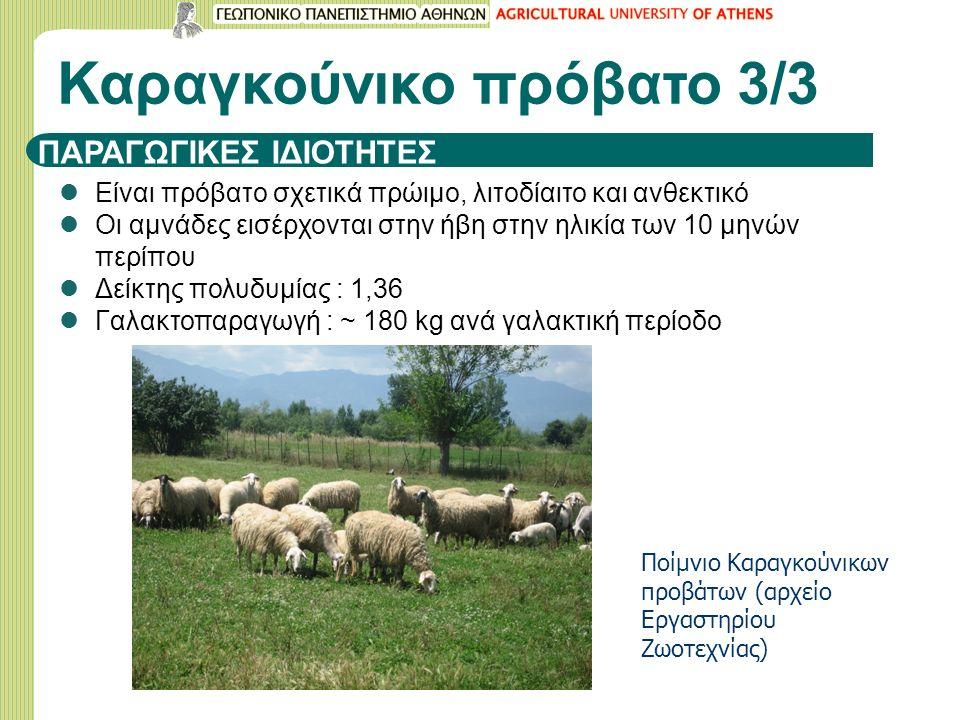ΠΑΡΑΓΩΓΙΚΕΣ ΙΔΙΟΤΗΤΕΣ Είναι πρόβατο σχετικά πρώιμο, λιτοδίαιτο και ανθεκτικό Οι αμνάδες εισέρχονται στην ήβη στην ηλικία των 10 μηνών περίπου Δείκτης πολυδυμίας : 1,36 Γαλακτοπαραγωγή : ~ 180 kg ανά γαλακτική περίοδο Καραγκούνικο πρόβατο 3/3 Ποίμνιο Καραγκούνικων προβάτων (αρχείο Εργαστηρίου Ζωοτεχνίας)