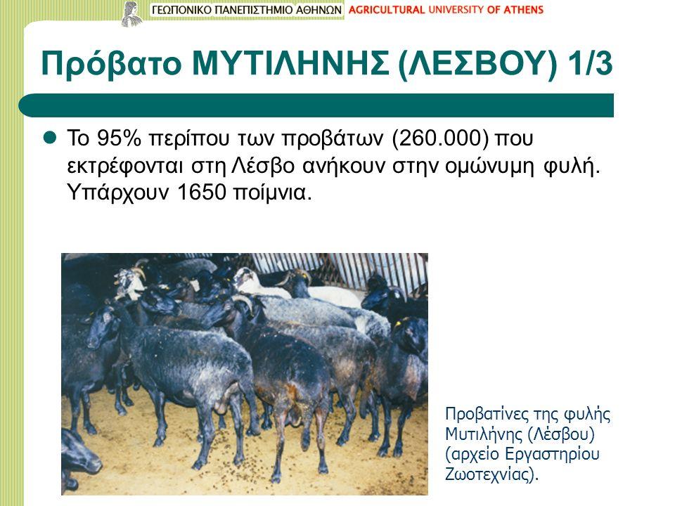 Πρόβατο ΜΥΤΙΛΗΝΗΣ (ΛΕΣΒΟΥ) 1/3 Το 95% περίπου των προβάτων (260.000) που εκτρέφονται στη Λέσβο ανήκουν στην ομώνυμη φυλή.