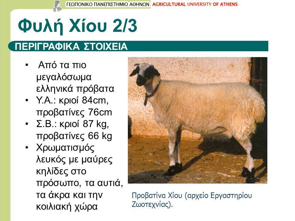 ΠΕΡΙΓΡΑΦΙΚΑ ΣΤΟΙΧΕΙΑ Από τα πιο μεγαλόσωμα ελληνικά πρόβατα Υ.Α.: κριοί 84cm, προβατίνες 76cm Σ.Β.: κριοί 87 kg, προβατίνες 66 kg Xρωματισμός λευκός με μαύρες κηλίδες στο πρόσωπο, τα αυτιά, τα άκρα και την κοιλιακή χώρα Φυλή Χίου 2/3 Προβατίνα Χίου (αρχείο Εργαστηρίου Ζωοτεχνίας).