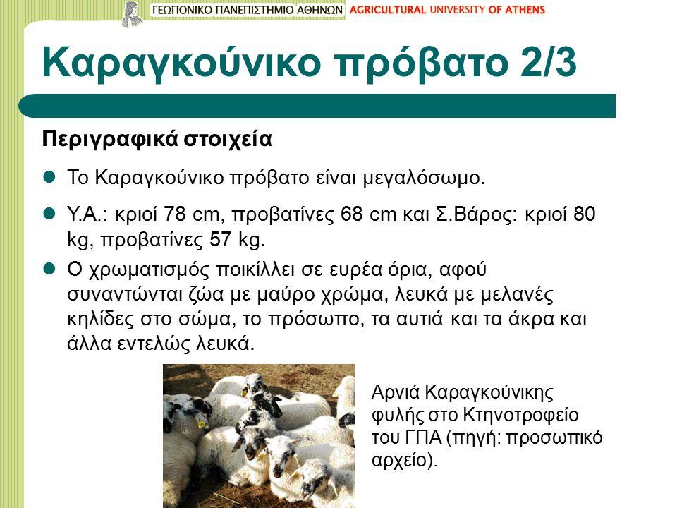 Καραγκούνικο πρόβατο 2/3 Περιγραφικά στοιχεία Το Καραγκούνικο πρόβατο είναι μεγαλόσωμο.