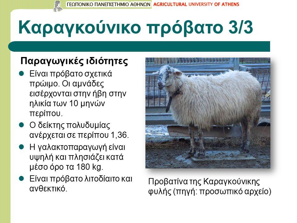 Καραγκούνικο πρόβατο 3/3 Παραγωγικές ιδιότητες Είναι πρόβατο σχετικά πρώιμο.