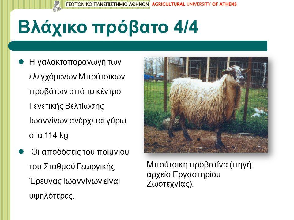 Βλάχικο πρόβατο 4/4 Η γαλακτοπαραγωγή των ελεγχόμενων Μπούτσικων προβάτων από το κέντρο Γενετικής Βελτίωσης Ιωαννίνων ανέρχεται γύρω στα 114 kg.