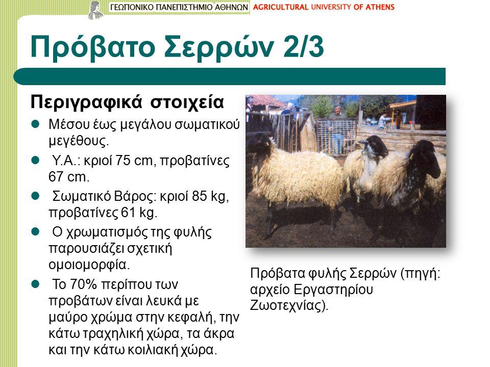 Πρόβατο Σερρών 2/3 Περιγραφικά στοιχεία Μέσου έως μεγάλου σωματικού μεγέθους.