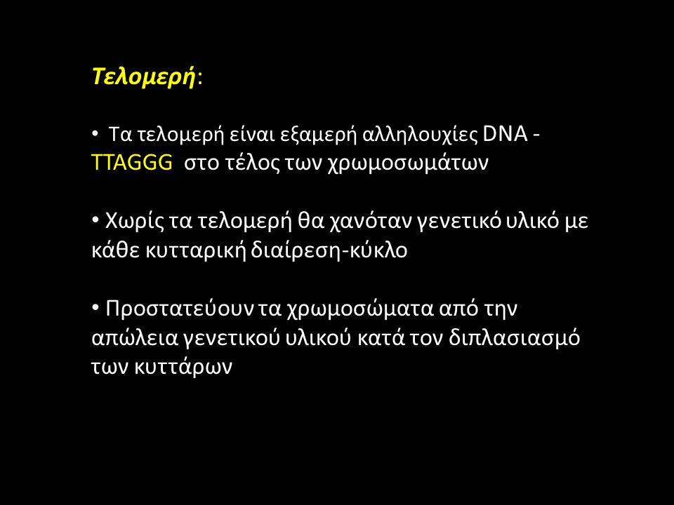 Τελομερή: Τα τελομερή είναι εξαμερή αλληλουχίες DNA - TTAGGG στο τέλος των χρωμοσωμάτων Χωρίς τα τελομερή θα χανόταν γενετικό υλικό με κάθε κυτταρική διαίρεση-κύκλο Προστατεύουν τα χρωμοσώματα από την απώλεια γενετικού υλικού κατά τον διπλασιασμό των κυττάρων