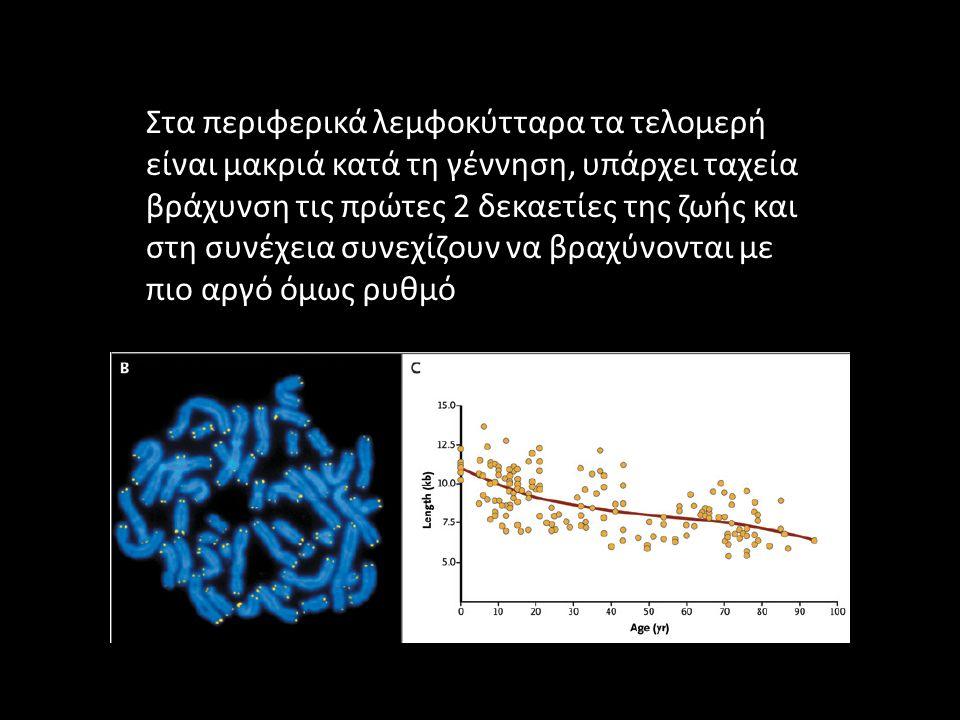 Στα περιφερικά λεμφοκύτταρα τα τελομερή είναι μακριά κατά τη γέννηση, υπάρχει ταχεία βράχυνση τις πρώτες 2 δεκαετίες της ζωής και στη συνέχεια συνεχίζ