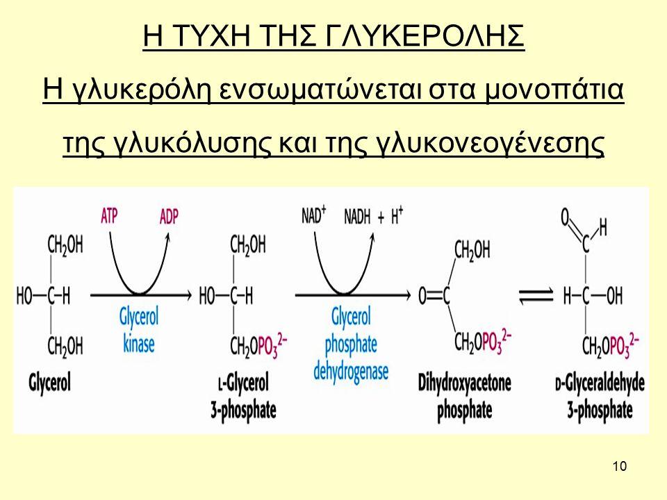 10 Η ΤΥΧΗ ΤΗΣ ΓΛΥΚΕΡΟΛΗΣ Η γλυκερόλη ενσωματώνεται στα μονοπάτια της γλυκόλυσης και της γλυκονεογένεσης