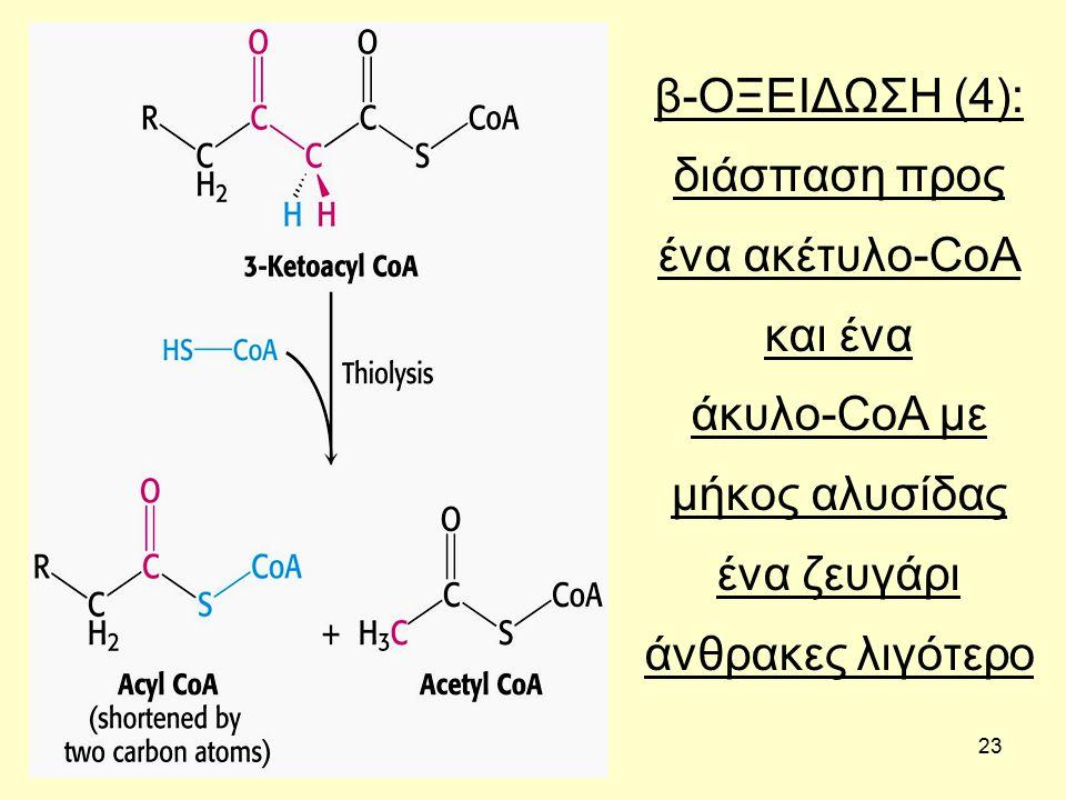 23 β-ΟΞΕΙΔΩΣΗ (4): διάσπαση προς ένα ακέτυλο-CoA και ένα άκυλο-CoA με μήκος αλυσίδας ένα ζευγάρι άνθρακες λιγότερο