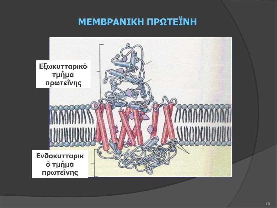 18 Ενδοκυτταρικ ό τμήμα πρωτεΐνης Εξωκυτταρικό τμήμα πρωτεΐνης ΜΕΜΒΡΑΝΙΚΗ ΠΡΩΤΕΪΝΗ