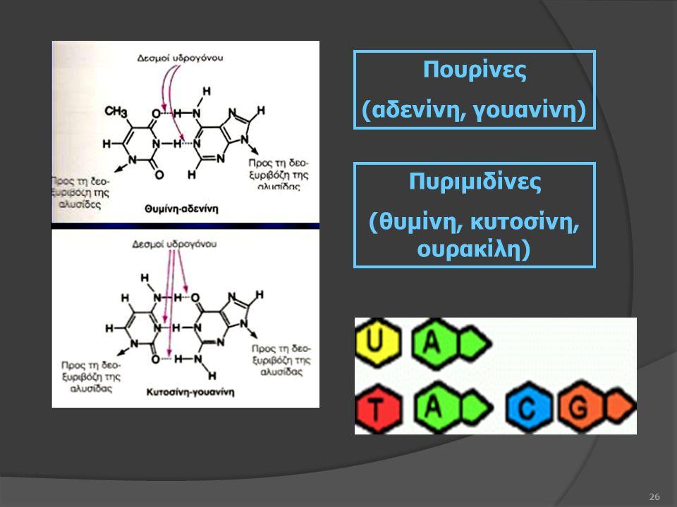 26 Πουρίνες (αδενίνη, γουανίνη) Πυριμιδίνες (θυμίνη, κυτοσίνη, ουρακίλη)