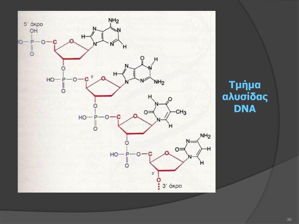 30 Τμήμα αλυσίδας DNA