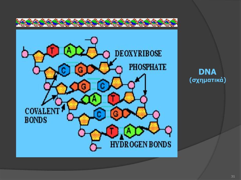31 DNA (σχηματικά)