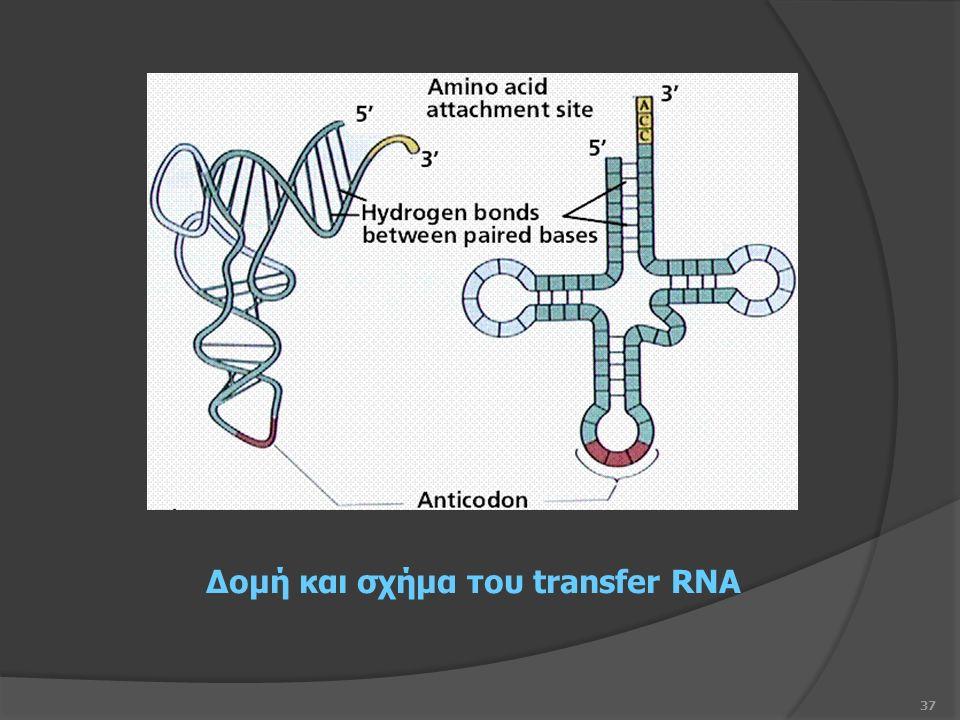 37 Δομή και σχήμα του transfer RNA