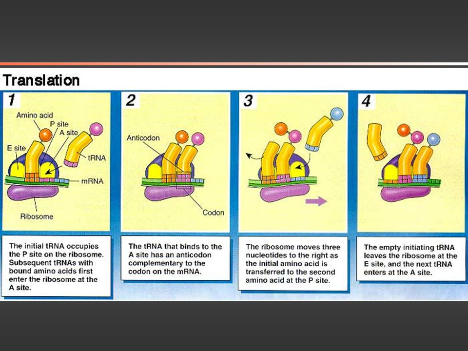 Protein Synthesis Microbe Library -American Society for Microbiology www.microbelibrary.org