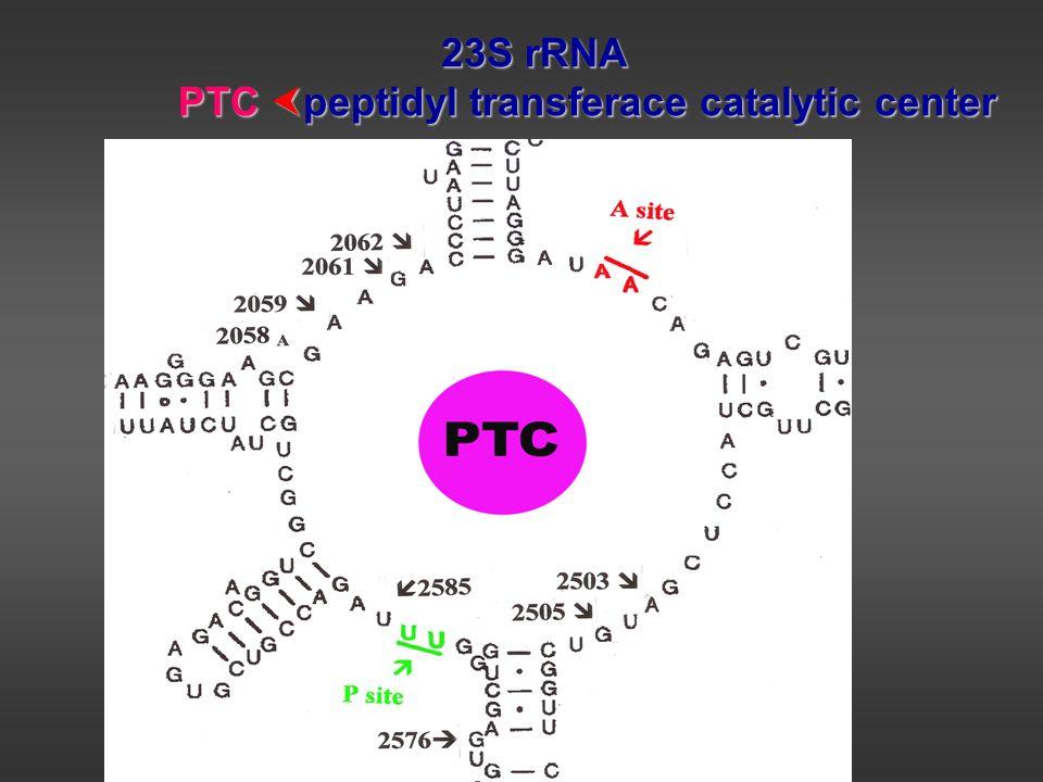 23S rRNA PTC  peptidyl transferace catalytic center