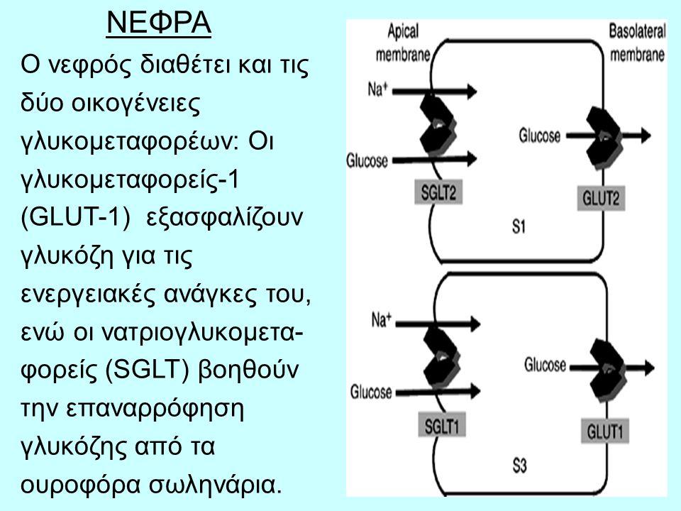 19 ΝΕΦΡΑ Ο νεφρός διαθέτει και τις δύο οικογένειες γλυκομεταφορέων: Οι γλυκομεταφορείς-1 (GLUT-1) εξασφαλίζουν γλυκόζη για τις ενεργειακές ανάγκες του, ενώ οι νατριογλυκομετα- φορείς (SGLT) βοηθούν την επαναρρόφηση γλυκόζης από τα ουροφόρα σωληνάρια.