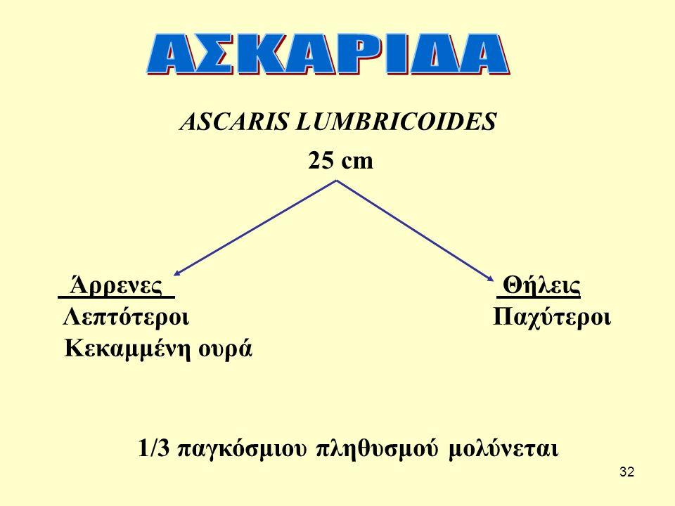 32 ASCARIS LUMBRICOIDES 25 cm Άρρενες Θήλεις Λεπτότεροι Παχύτεροι Κεκαμμένη ουρά 1/3 παγκόσμιου πληθυσμού μολύνεται