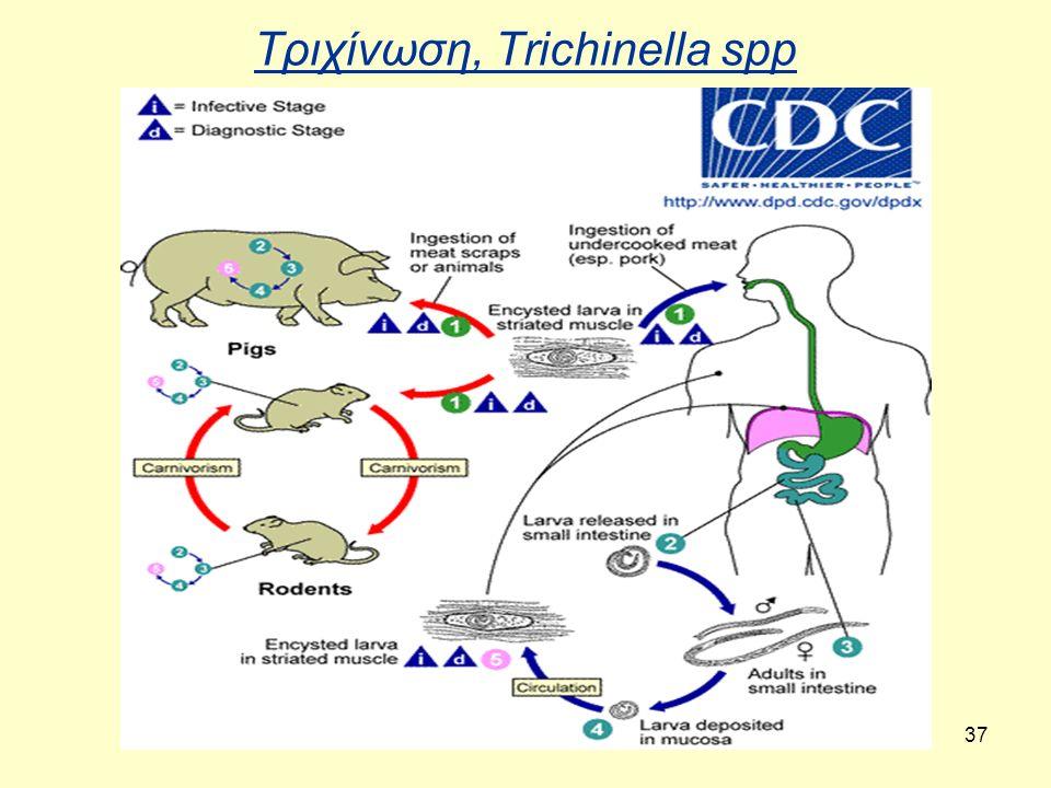 37 Τριχίνωση, Trichinella spp