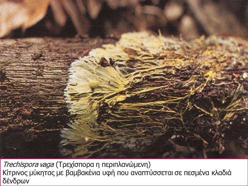 Trechispora vaga (Τρεχίσπορα η περιπλανώμενη) Κίτρινος μύκητας με βαμβακένια υφή που αναπτύσσεται σε πεσμένα κλαδιά δένδρων
