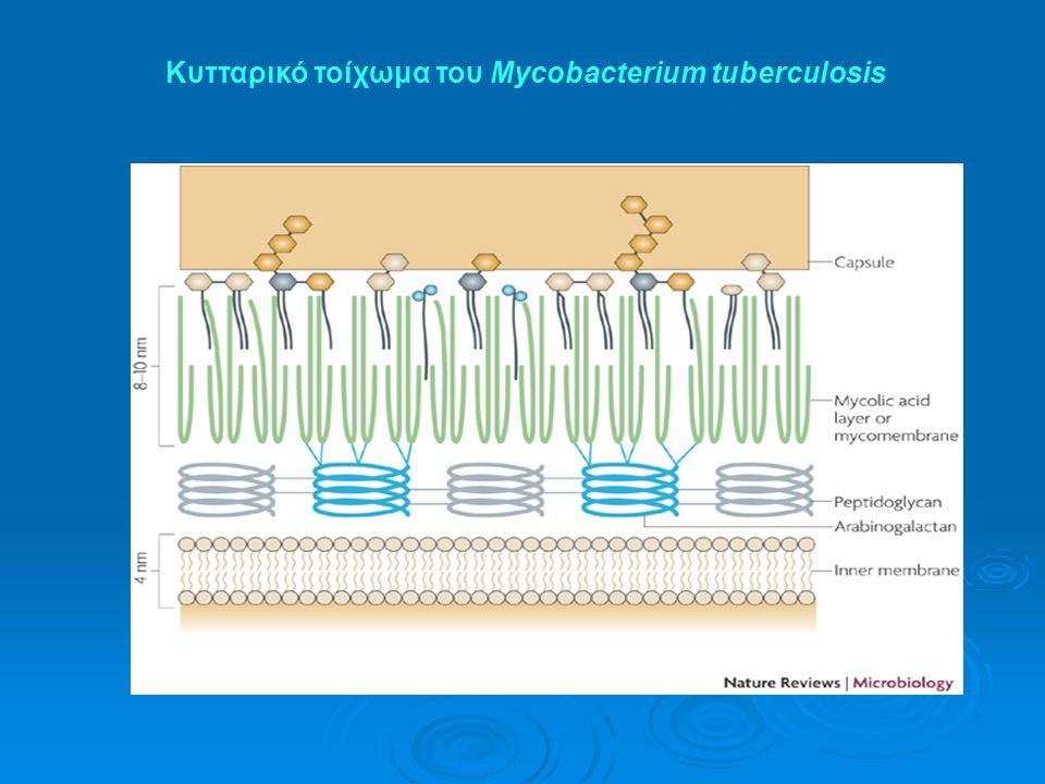 Κυτταρικό τοίχωμα του Mycobacterium tuberculosis