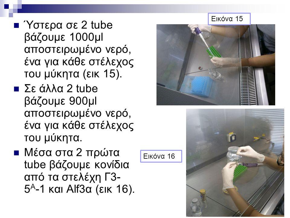 Ύστερα σε 2 tube βάζουμε 1000μl αποστειρωμένο νερό, ένα για κάθε στέλεχος του μύκητα (εικ 15). Σε άλλα 2 tube βάζουμε 900μl αποστειρωμένο νερό, ένα γι