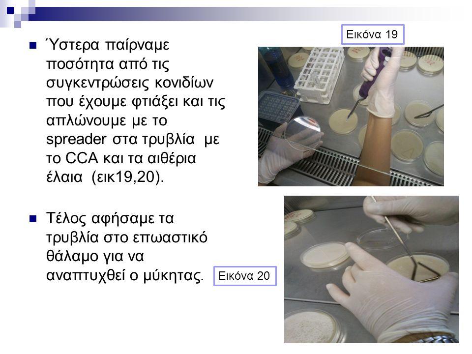 Ύστερα παίρναμε ποσότητα από τις συγκεντρώσεις κονιδίων που έχουμε φτιάξει και τις απλώνουμε με το spreader στα τρυβλία με το CCA και τα αιθέρια έλαια (εικ19,20).