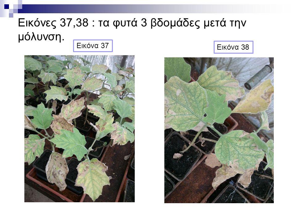 Εικόνες 37,38 : τα φυτά 3 βδομάδες μετά την μόλυνση. Εικόνα 38 Εικόνα 37