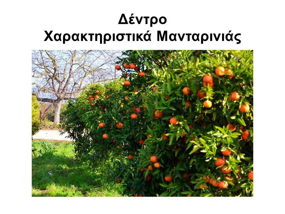Δέντρο Χαρακτηριστικά Μανταρινιάς