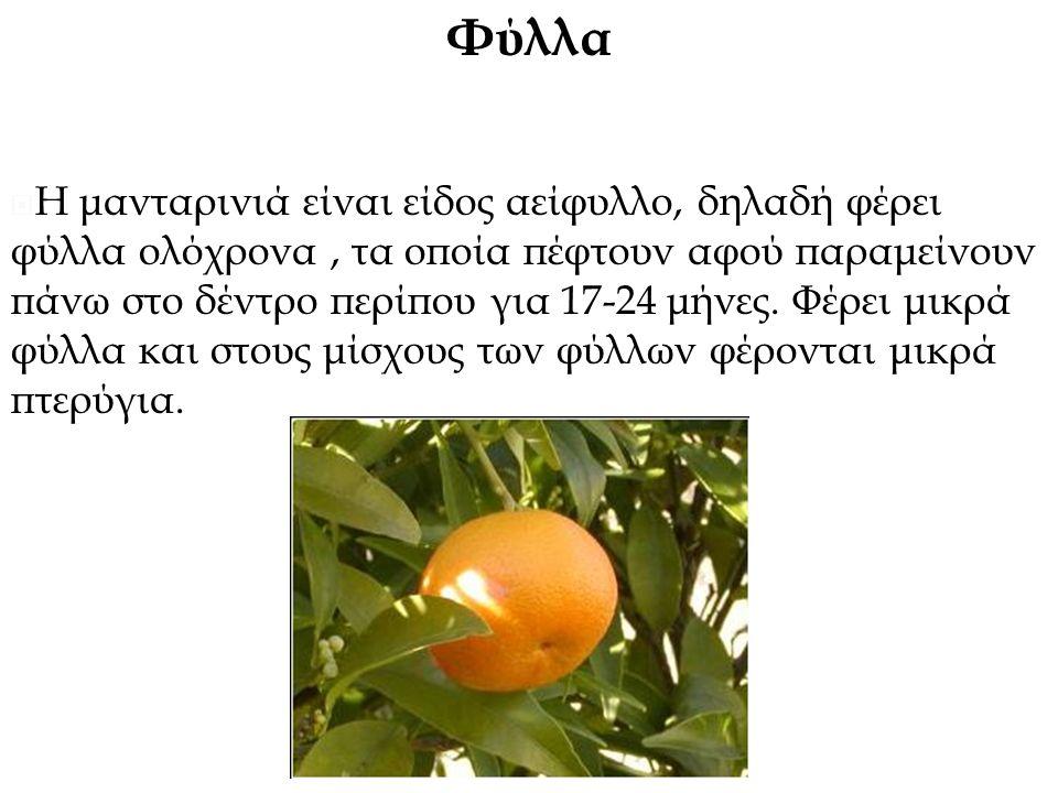 Φύλλα  Η μανταρινιά είναι είδος αείφυλλο, δηλαδή φέρει φύλλα ολόχρονα, τα οποία πέφτουν αφού παραμείνουν πάνω στο δέντρο περίπου για 17-24 μήνες.