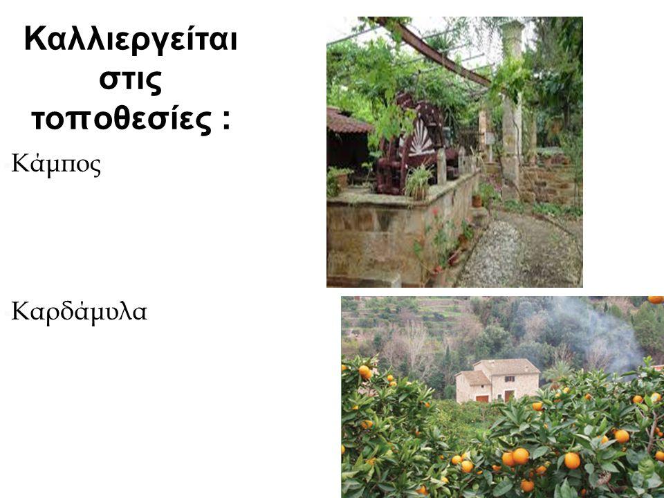 Καλλιεργείται στις τοποθεσίες :  Κάμπος Χίου  Καρδάμυλα  Καμπόχωρα