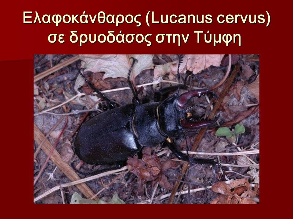 Ελαφοκάνθαρος (Lucanus cervus) σε δρυοδάσος στην Τύμφη Ελαφοκάνθαρος (Lucanus cervus) σε δρυοδάσος στην Τύμφη