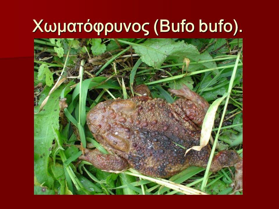 Χωματόφρυνος (Bufo bufo). Χωματόφρυνος (Bufo bufo).