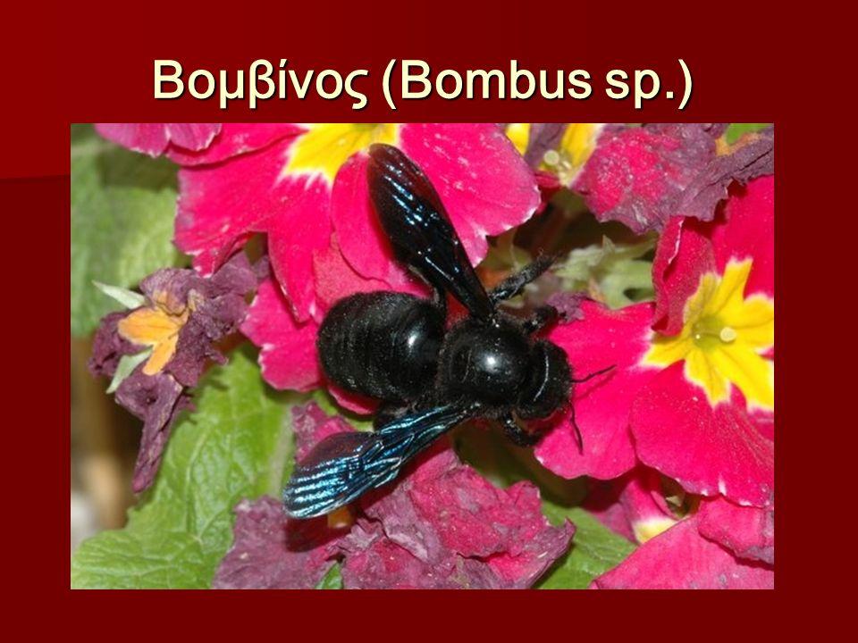 Βομβίνος (Bombus sp.) Βομβίνος (Bombus sp.)