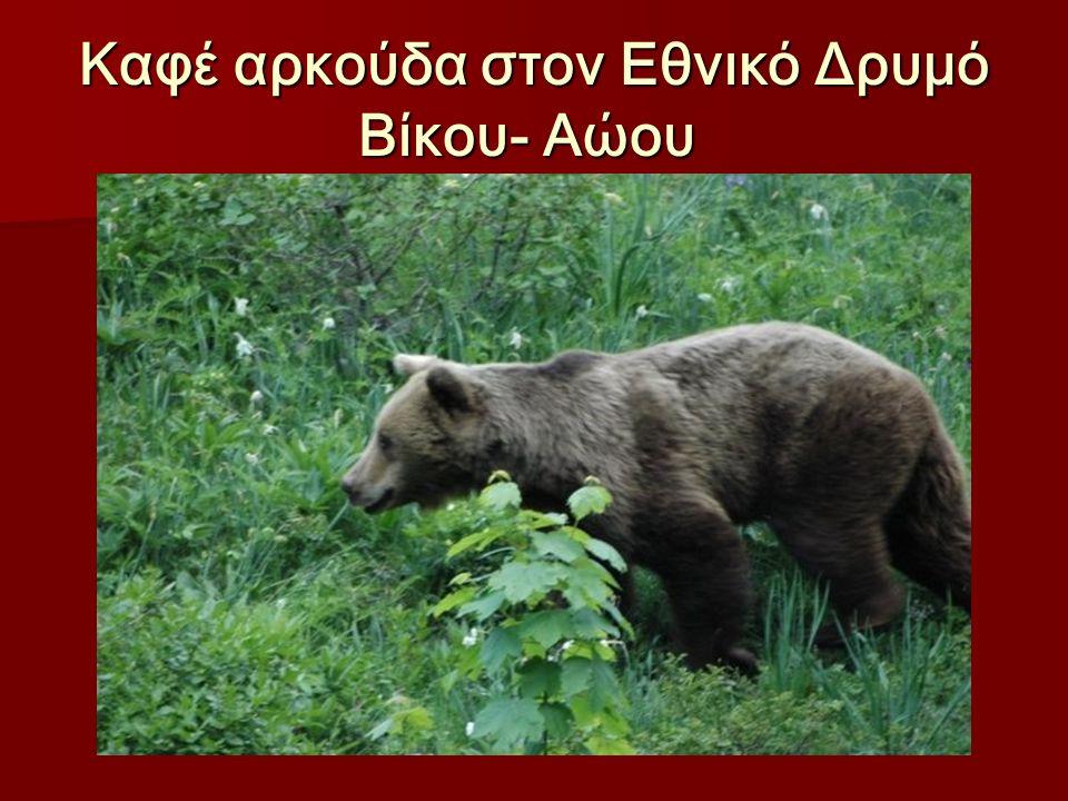 Καφέ αρκούδα στον Εθνικό Δρυμό Βίκου- Αώου Καφέ αρκούδα στον Εθνικό Δρυμό Βίκου- Αώου