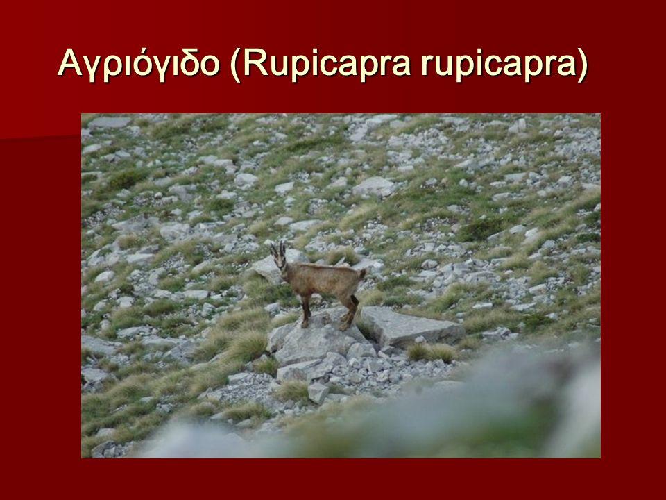 Αγριόγιδο (Rupicapra rupicapra) Αγριόγιδο (Rupicapra rupicapra)