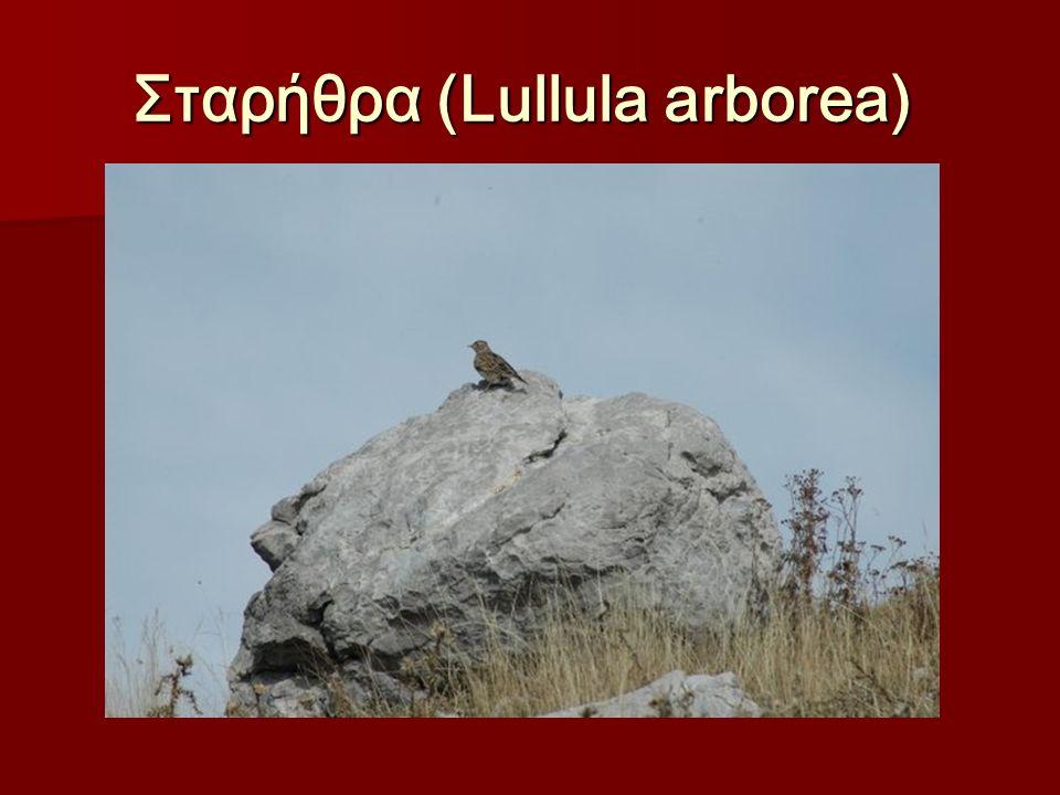 Σταρήθρα (Lullula arborea) Σταρήθρα (Lullula arborea)