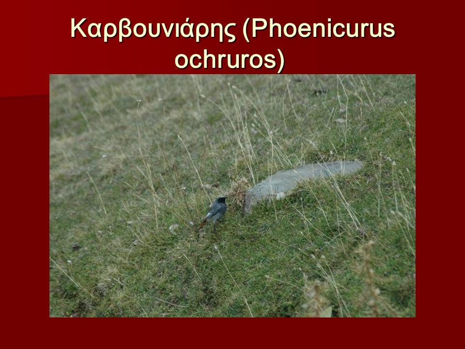 Καρβουνιάρης (Phoenicurus ochruros) Καρβουνιάρης (Phoenicurus ochruros)