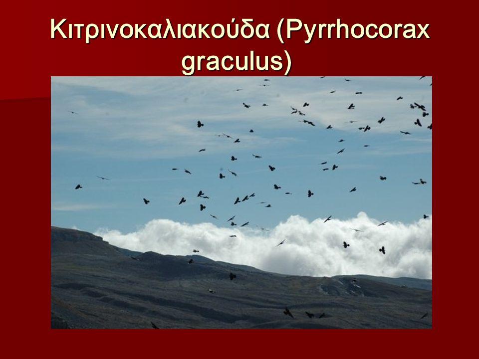 Κιτρινοκαλιακούδα (Pyrrhocorax graculus) Κιτρινοκαλιακούδα (Pyrrhocorax graculus)