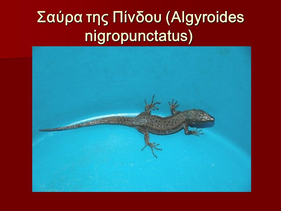 Σαύρα της Πίνδου (Algyroides nigropunctatus) Σαύρα της Πίνδου (Algyroides nigropunctatus)