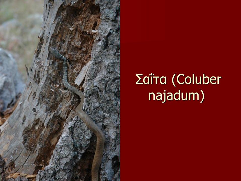 Σαΐτα (Coluber najadum) Σαΐτα (Coluber najadum)