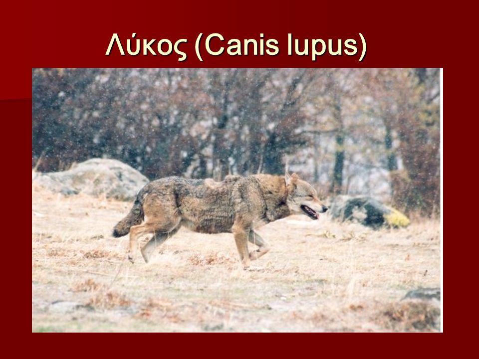 Λύκος (Canis lupus) Λύκος (Canis lupus)