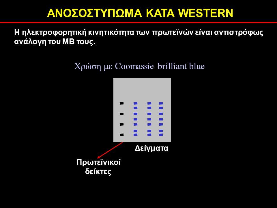 ΑΝΟΣΟΣΤΥΠΩΜΑ ΚΑΤΑ WESTERN Η ηλεκτροφορητική κινητικότητα των πρωτεϊνών είναι αντιστρόφως ανάλογη του ΜΒ τους.