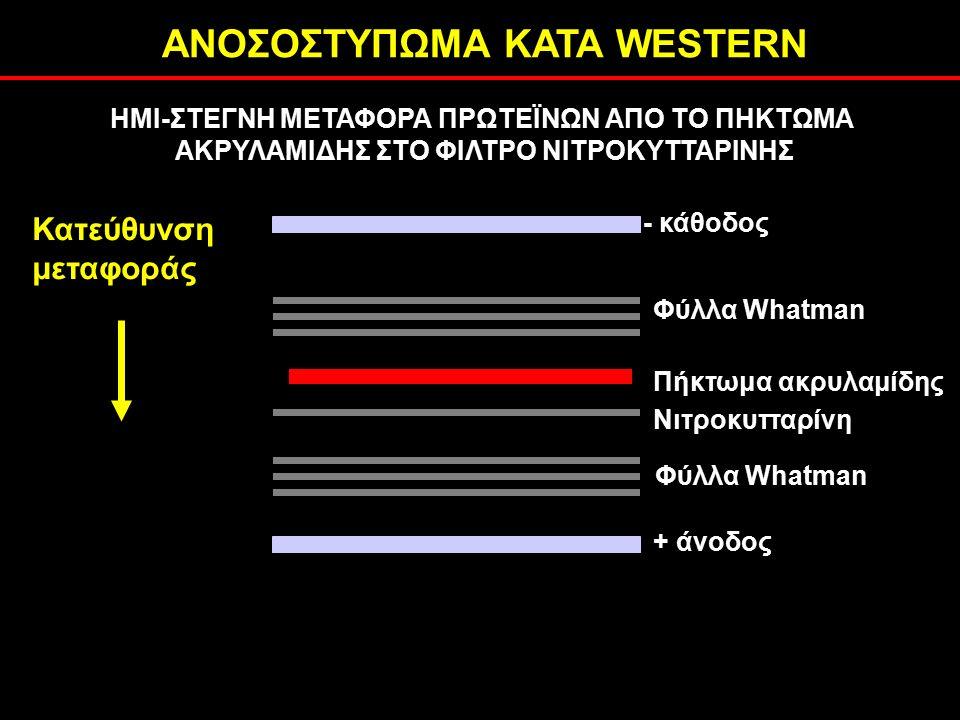 ΑΝΟΣΟΣΤΥΠΩΜΑ ΚΑΤΑ WESTERN ΗΜΙ-ΣΤΕΓΝΗ ΜΕΤΑΦΟΡΑ ΠΡΩΤΕΪΝΩΝ ΑΠΟ ΤΟ ΠΗΚΤΩΜΑ ΑΚΡΥΛΑΜΙΔΗΣ ΣΤΟ ΦΙΛΤΡΟ ΝΙΤΡΟΚΥΤΤΑΡΙΝΗΣ - κάθοδος Φύλλα Whatman + άνοδος Νιτροκυτταρίνη Πήκτωμα ακρυλαμίδης Κατεύθυνση μεταφοράς